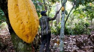Un agriculteur travaille dans une ferme de cacao en Côte d'Ivoire.