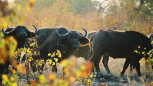 Le parc national Kruger est la plus célèbre réserve d'animaux d'Afrique du Sud.
