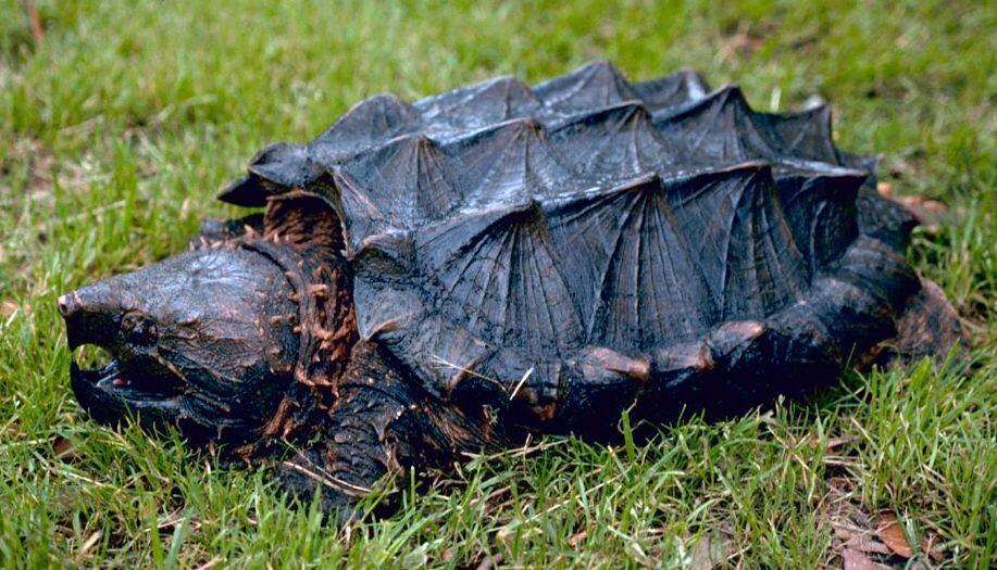Грифовая или аллигаторовая черепаха (лат. Macroclemys temminckii)