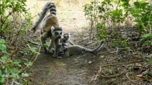 Les lémuriens, espèces protégées à Madagascar, dans le parc national d'Isalo. (Photo d'illustration).