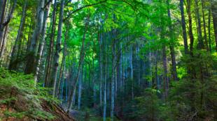 Une forêt de hêtres dans les Carpates roumaines. (Photo d'illustration)