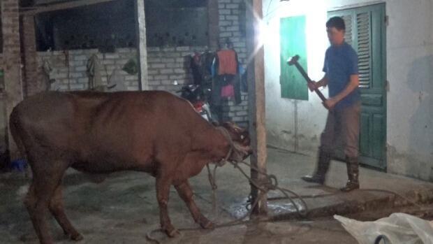 Giết bò bằng búa trong lò sát sinh ở Việt Nam
