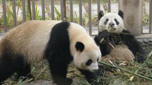 Les deux pandas, Huan Huan et Yuanzi.