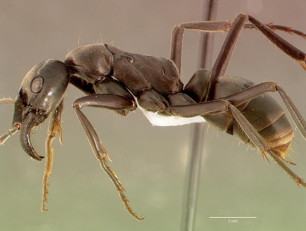 """Kiến """"to"""" Megaponera (Major) có chiều dài cơ thể lên đến 2cm."""