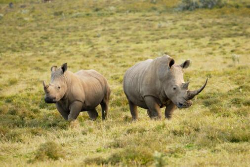 Năm 2014, 1300 con tê giác đã bị hạ sát tại Châu Phi chỉ để lấy sừng.