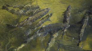 Salmones reales ascienden por la escalera de peces en el criadero de Feather River, adyacente a la presa de Oroville, en California
