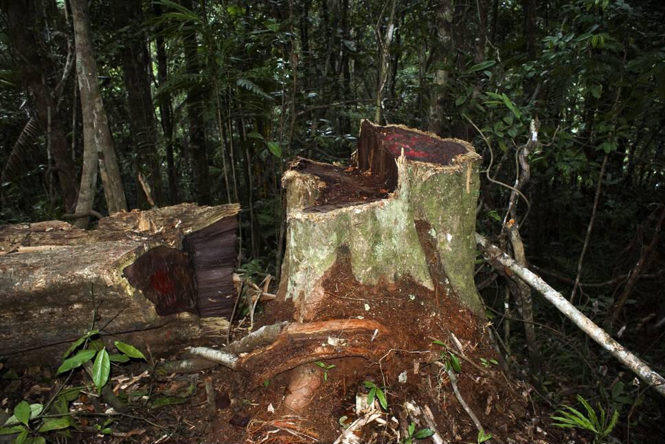 Commerce illégal de bois de rose à Madagascar, parc national de Marojejy.