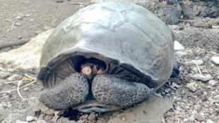 El ejemplar de la de la especie de tortuga Chelonoidis Phantasticus, que se creía extinta hace más de 100 años,
