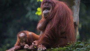 en Indonésie, 60% des zones allouées à l'huile de palme par le gouvernement n'ont pas encore été développées et elles abritent 10 000 orangs-outans.