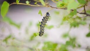 Mopane worm foraging on the leaves of a mopane tree
