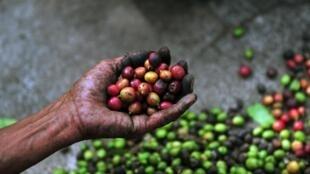 La Colombie et le Honduras font leur grand retour sur le marché du café arabica.