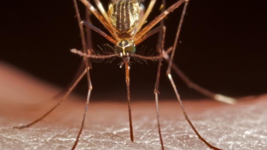 Mosquito, vector do paludismo que está a atingir Praia, capital de Cabo Verde.