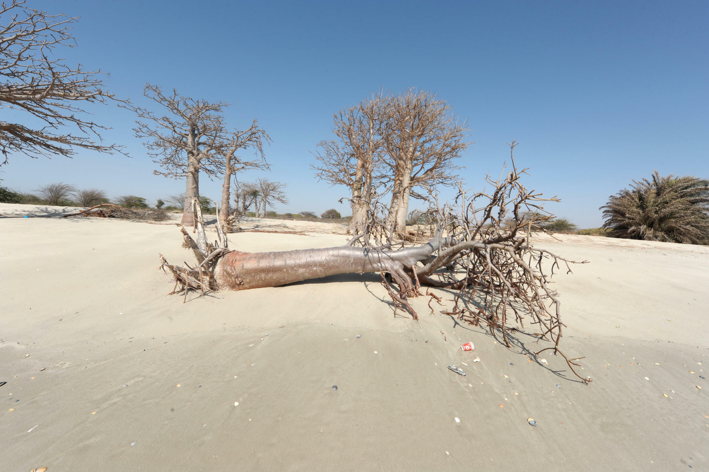 Rising sea levels caused by climate change kill trees. This photo was taken in Senegal in 2013