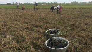 Les habitants de Nanzoumé ont appris à faire des pépinières de palétuviers qu'ils replantent pour restaurer la mangrove.