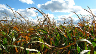 Cultivo de trigo transgénico.