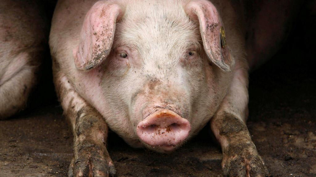 Un cochon dans une ferme près de Belotincy à 140 km de Sofia, la capitale de la Bulgarie. (Image d'illustration)