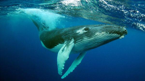По словам биологов, мелодии горбатых китов напоминают в основном классику