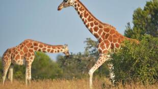 Les girafes font parties des espèces menacées d'extinction dont la protection à été renforcée par la CITES à Genève, le 28 août 2019.