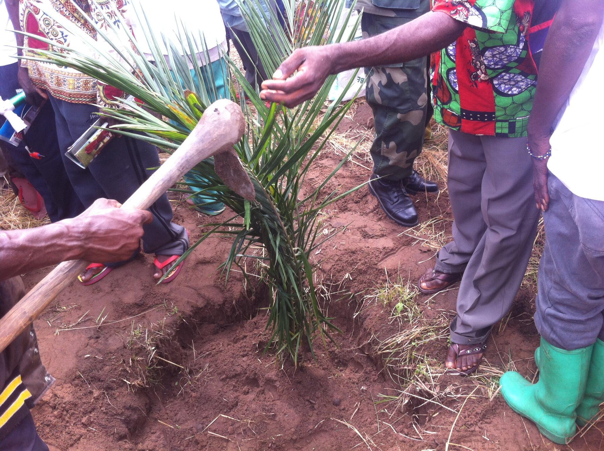 Un palmier de la paix planté par d'anciens chefs de milice Lubas et Pygmées, le 24 mars 2016, dans la localité de Kabeke.