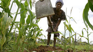 Zimbabwean farmer digs out weeds from a maize crop.