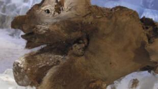 Khroma vient d'être autopsié par une équipe de paléontologues