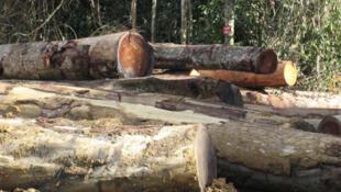Des arbres abattus dans la forêt camerounaise, à Ambam.