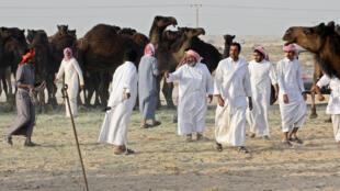 Катарские верблюды возвращаются из Саудовской Аравии.