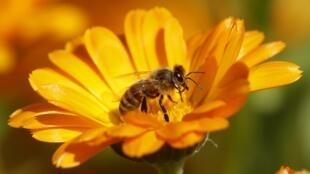 L'abeille butineuse est un élément clé de la biodiversité grâce à son travail de pollinisation.