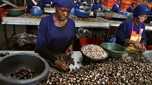 Armed with strict laws and an awareness campaign for planters, Ivory Coast is fighting the smuggling of cashew nuts