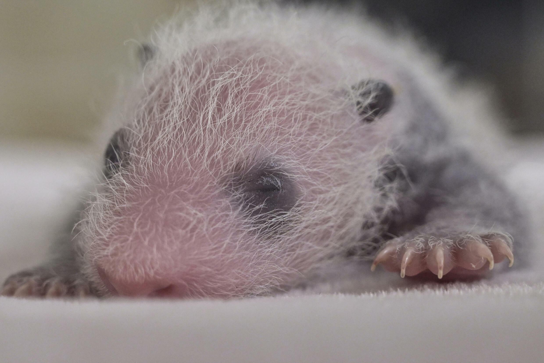 刚刚出生的大熊猫 资料照片