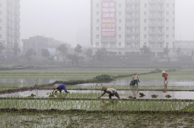 Nông dân cấy lúa trên đồng ruộng tại Sài Đồng, Hà Nội, ngày 04/03/2012.