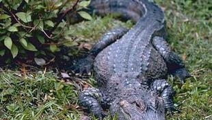 A Chinese alligator