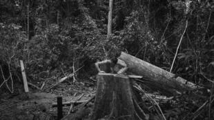 Araribóia, Maranhão. Un garde forestier Guajajara devant le triste spectacle d'un arbre abattu par des exploitants forestiers illégaux dans la réserve d'Araribóia.