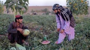 Liên Hiệp Châu Âu ưu tiên hỗ trợ ngành nông nghiệp Afghanistan.