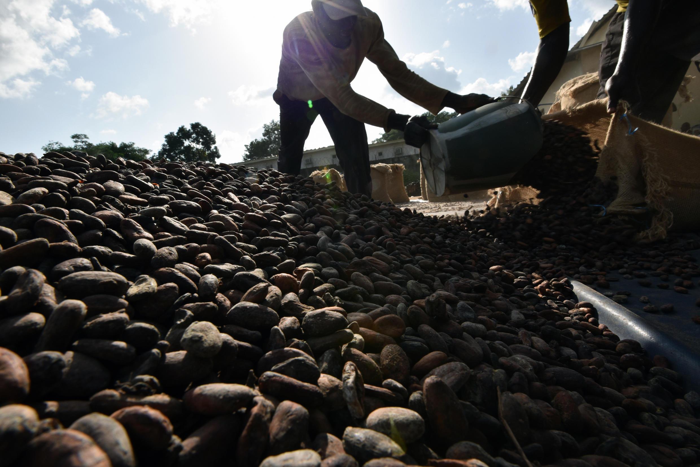 Une coopérative agricole de cacao de la région de Guiglo, en Côte d'Ivoire.