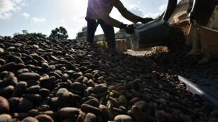 Une coopérative agricole de cacao de la région de Guiglo, le 6 octobre 2016.