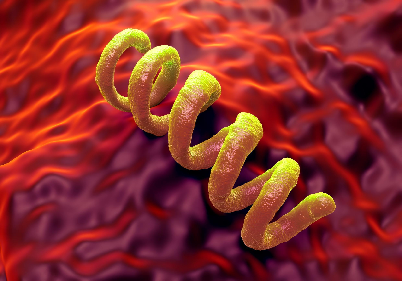 Бактерия Treponema pallidum, самый частый виновник возникновения сифилиса