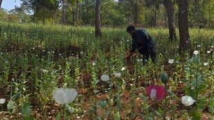 Plantation d'opium à Pekon, dans l'Etat du Shan, en Birmanie.