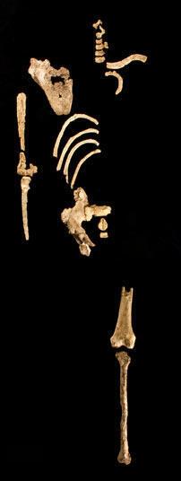 """Eléments anatomiques du squelette partiel de """"Kadanuumuu""""."""