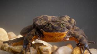 La grenouille mâle Roméo.