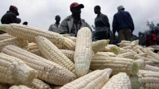 Une production de maïs au Kenya.