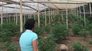 Beaucoup de petits paysans survivent grâce à la culture du cannabis dans la région de Toribío (Colombie).