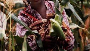 Camponesa colhe milho em plantação moçambicana.