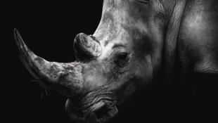 China reanuda el comercio de productos a base de tigre y de rinoceronte.