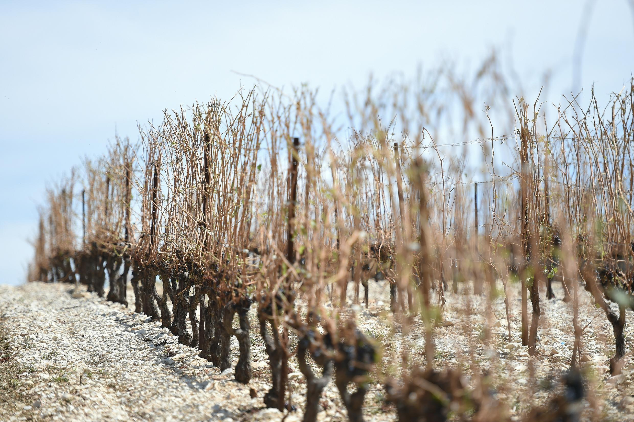 This picture taken on August 19 in Valfaunes, shows a vineyard partially destroyed after a violent hailstorm near the southern city of Montpellier.