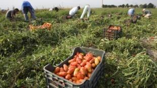Каждый год сотни тысяч мигрантов приезжают на сезонные работы на юг Италии