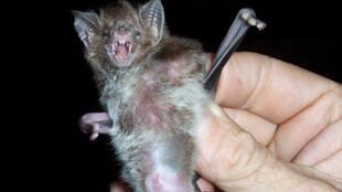 Le Desmodus rotundus ou vampire roux peut être un vecteur de la rage.