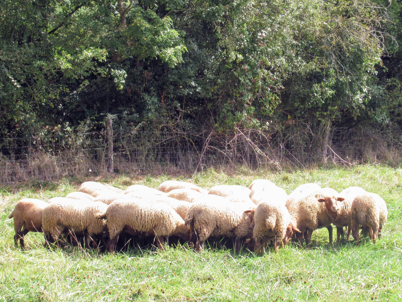 Sheep in the Brunet's field.