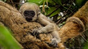 O muriqui-do-norte, maior macaco das Américas, é uma das espécies de animais mais ameaçadas de extinção.