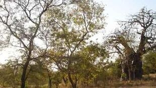 Les arbres de la savane ont une écorce épaisse et drageonnent facilement.